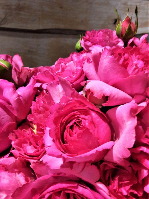 """Article Rose Yves Piaget  Cette semaine, Christian Morel vous fait découvrir la Rose Piaget.  En effet, cette rose fine et délicate, affiche une allure """"rétro"""", avec ses fleurs en forme de pivoine aux pétales dentelés.  Cette variété au coloris rose neyron pâle, a la particularité d'offir un parfum exceptionnel, une floraison abondante et un feuillage résistant.  Elle tire son nom du joallier Yves Piaget, passionné par les mécanismes virtuoses de l'horlogerie mais aussi par la nature, par les fleurs et par la reine de ces dernières, la Rose.  En participant à la restauration du château de la Malmaison, dans la demeure de celle qui partageait la vie de Napoléon, il perçut le parfum de cette autre grande amoureuse des fleurs. Ainssi Joséphine de Beauharnais cultivait dans ses jardins plus de 200 espèces de roses.   Véritable talisman, la rose est pour la Manufacture Piaget un message d'éternité et d'amour renouvelé qui palpite chaque jour.  En 1982, dans le cadre du prestigieux Concours International de Roses Nouvelles de Genève, la rose lauréate est alors baptisée """"rose Yves Piaget """".   Aujourd'hui, cette magnifique rose Yves Piaget fête ses trente-cinq printemps.  Ainsi, Christian Morel vous propose cette rose fabuleuse en boutique, n'hésitez pas à venir la découvrir plus amplement.  Au plaisir de confectionner vos bouquets en Piaget,   Christian Morel Fleuriste à Paris"""
