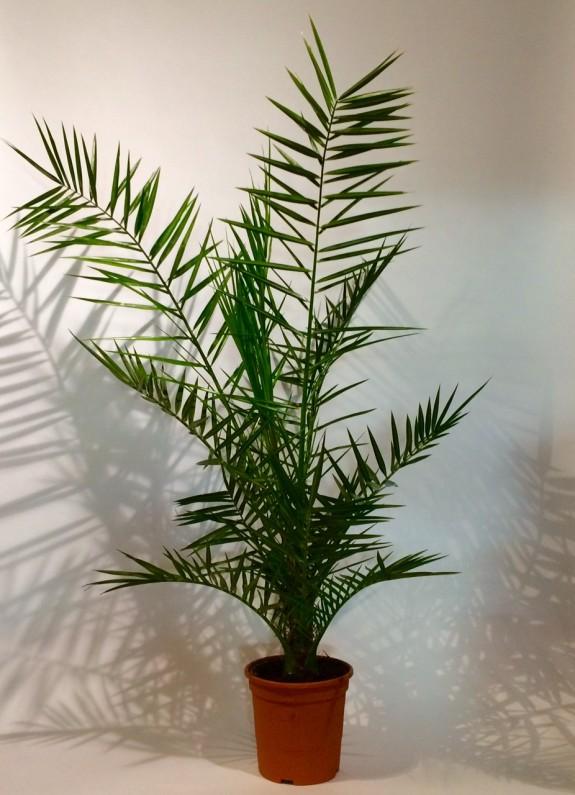 Areca plantes dépolluantes