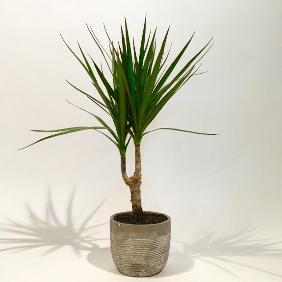 Dracaena plantes dépolluantes
