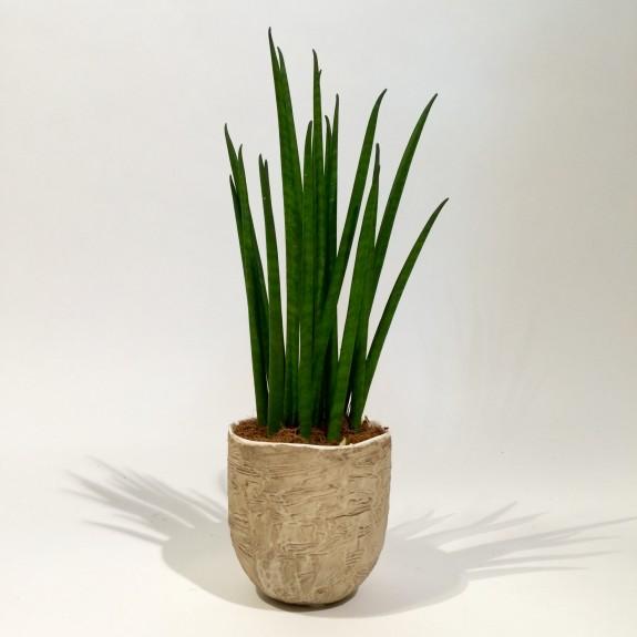 Sanseveria plantes dépolluantes