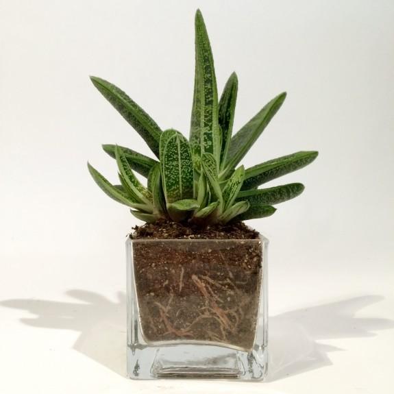 Crassula plantes dépolluantes