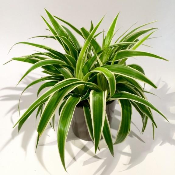 Chlorophytum plantes dépolluantes