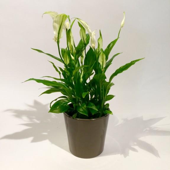 Spathiphyllum plantes dépolluantes