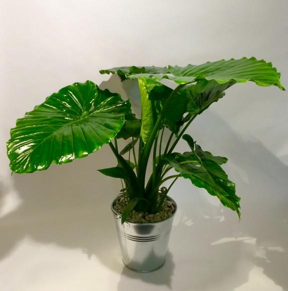 Alocasia plantes dépolluantes