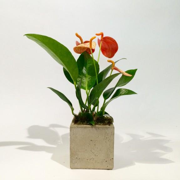 Anthurium plantes dépolluantes