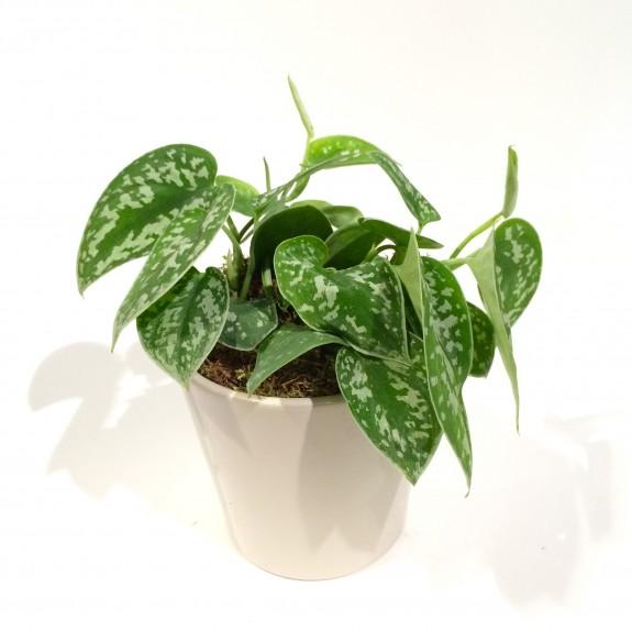 Syngonium plantes dépolluantes
