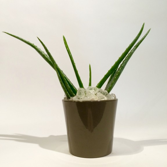 Aloe plantes dépolluantes