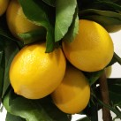 Les citrons de Giuseppe