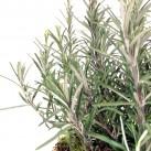 Christian Morel Fleuriste Paris - Plantes aromatiques - Le Romarin