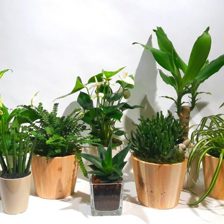 Christian Morel Fleuriste Paris – Plantes Dépolluantes Kit Senior