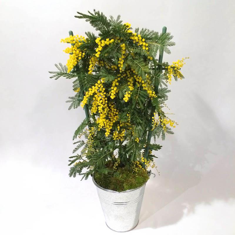 Mimo le mimosa par Christian Morel, fleuriste à Paris