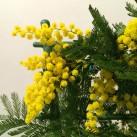 Mimo le mimosa par Christian Morel, fleuriste à Paris - zoom fleurs