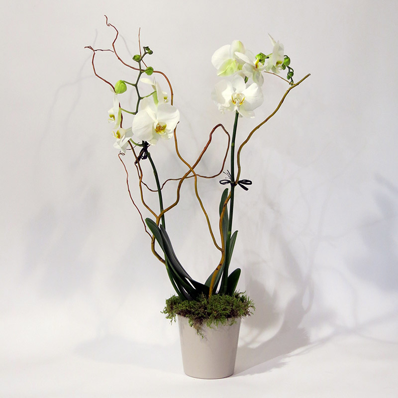 Christian Morel Fleuriste Paris - Yoko, Phalaenopsis Blanche